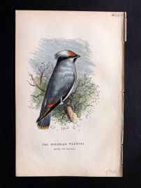 Gedney 1888 Antique Hand Col Bird Print. Bohemian Waxwing.